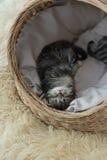 Chatons tigrés dormant et étreignant dans un panier Image stock