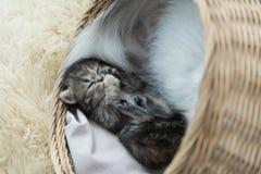 Chatons tigrés dormant et étreignant dans un panier Image libre de droits