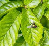 Iridescent fly on green leaf. Chatoyant fly on green leaf Royalty Free Stock Images