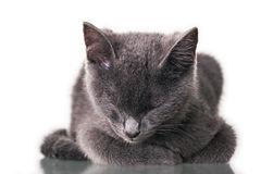 Chatreaux小猫睡觉 免版税库存图片
