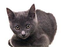 Chatreaux kattunge Royaltyfria Bilder