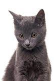 Chatreaux kattunge Fotografering för Bildbyråer