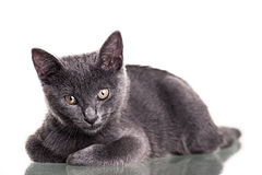 Chatreaux kattunge Arkivfoto