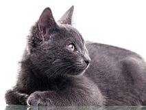 Chatreaux Kitten Close Up. Portrait. Studio shot. Isolated on white background stock photography