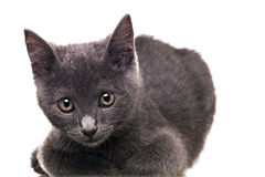 Chatreaux Kitten. Portrait. Studio shot. Isolated on white background royalty free stock images