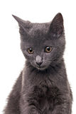 Chatreaux Kitten. Portrait. Studio shot. Isolated on white background stock image