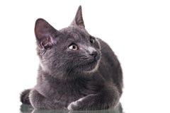 Chatreaux Kitten. Portrait. Studio shot. Isolated on white background royalty free stock photography