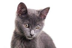 Chatreaux Kitten. Portrait. Studio shot. Isolated on white background stock photos