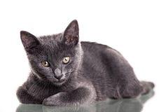 Chatreaux Kitten. Portrait. Studio shot. Isolated on white background stock photo