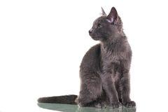 Chatreaux Kitten Sitting. Portrait. Studio shot. Isolated on white background stock photos