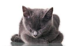 Chatreaux Kitten Sleeping Imágenes de archivo libres de regalías