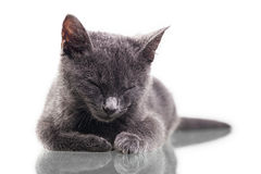 Chatreaux Kitten Sleeping immagine stock