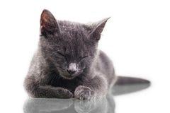 Chatreaux Kitten Sleeping. Chatreaux kitten portrait. Studio shot. Isolated on white background stock image