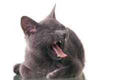 Chatreaux Kitten Yawning Royaltyfri Bild