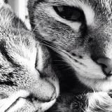 chats Photo libre de droits