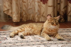 Chats, beaux animaux familiers pelucheux Image stock