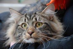 Chats, beaux animaux familiers pelucheux Images stock
