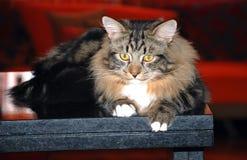 Chats, beaux animaux familiers pelucheux Photos libres de droits