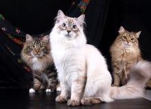 Chats, beaux animaux familiers pelucheux Photos stock
