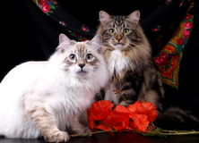 Chats, beaux animaux familiers pelucheux Photo stock