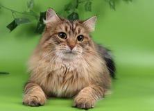 Chats, beaux animaux familiers pelucheux Images libres de droits