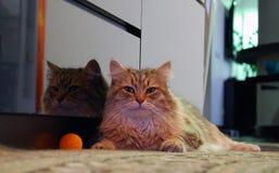 Chats, beaux animaux familiers pelucheux Photographie stock libre de droits