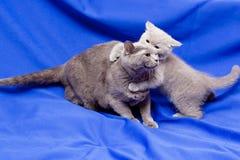 Chats britanniques Photo stock