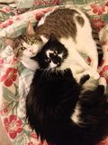 Chats câlins Photos libres de droits