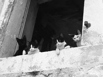 Chats croates noirs et blancs Photographie stock libre de droits