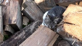 Chats dans la basse cour, Kitten Hunting Searching Food, chat Cat Walking dans le jardin clips vidéos
