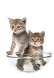 Chats dans une salade-cuvette Photos libres de droits