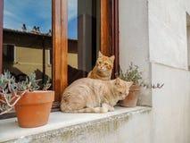 Chats de l'Italie Photographie stock