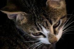 Chats domestiques Photo libre de droits