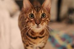 Chats du Bengale - tigres Photos stock