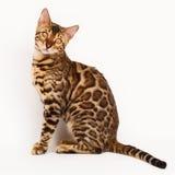 Chats du Bengale - tigres Photo stock