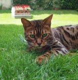 Chats du Bengale - tigres Image libre de droits