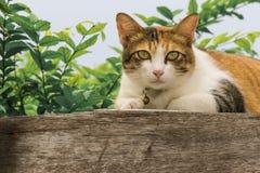 Chats engraissés thaïlandais sur le mur en bois avec le fond d'arbre utilisé comme fond d'image Photo stock