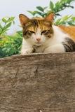 Chats engraissés thaïlandais sur le mur en bois avec le fond d'arbre utilisé comme fond d'image Images libres de droits