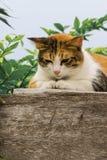 Chats engraissés thaïlandais sur le mur en bois avec le fond d'arbre utilisé comme fond d'image Photos stock