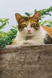 Chats engraissés thaïlandais sur le mur en bois avec le fond d'arbre utilisé comme fond d'image Images stock