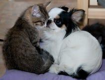 Chats et chien chanceux de chiwawa Amour Chaton quatre mois Images libres de droits