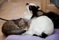 Chats et chien chanceux de chiwawa Amour Chaton quatre mois Photographie stock libre de droits