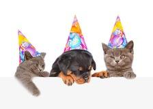 Chats et chien dans des chapeaux d'anniversaire jetant un coup d'oeil par derrière le conseil vide D'isolement sur le blanc Image libre de droits