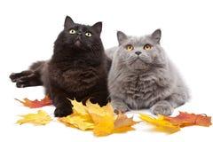Chats et lames d'automne   photo stock
