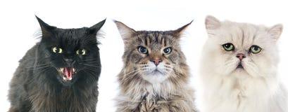 Chats furieux Photos libres de droits