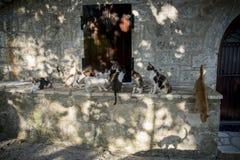 Chats grecs d'île de Leucade Photographie stock