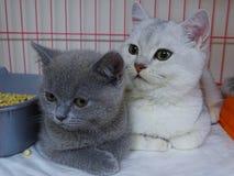 chats gris et blancs dans le magasin de bêtes Image libre de droits