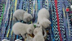 Chats mangeant de l'aliment pour animaux familiers clips vidéos