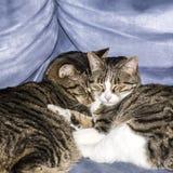 Chats mignons dormant sur un sofa Images stock