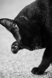 Chats noirs Image stock
